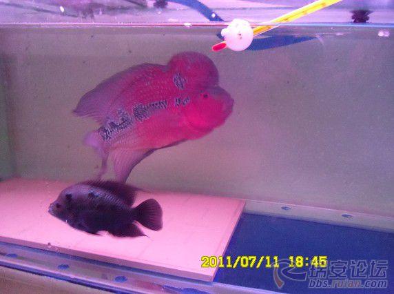 罗汉鱼公母合缸欣赏图片