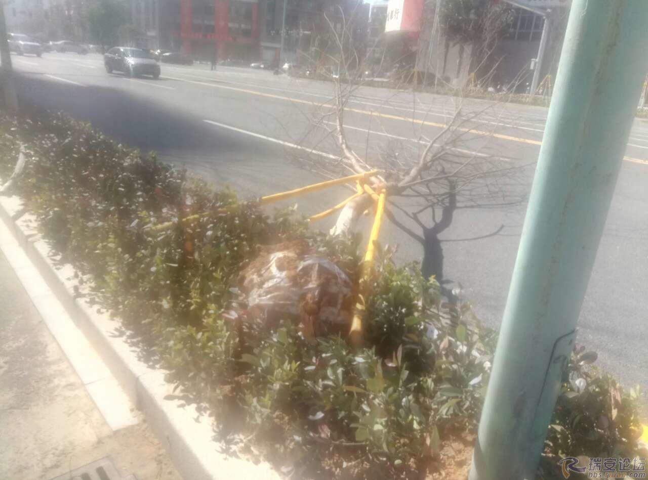 北京赛车公式赢钱方法:一陈妖风就把树给刮倒了