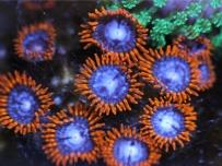 百微下的珊瑚