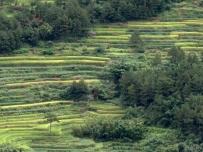 周边稻谷快黄了
