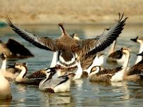 会飞的是大雁 不会飞的是鹅