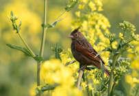 油菜花开了,赏花的同时还可以观鸟。