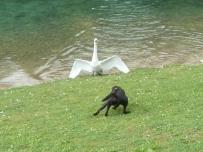 狗和天鹅打架-真的,狗会驾车-假的.