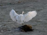 白鹭各种动态