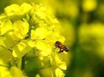 油菜花香蜜蜂来