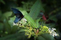这种蝶是叫灯梅蝴蝶吗